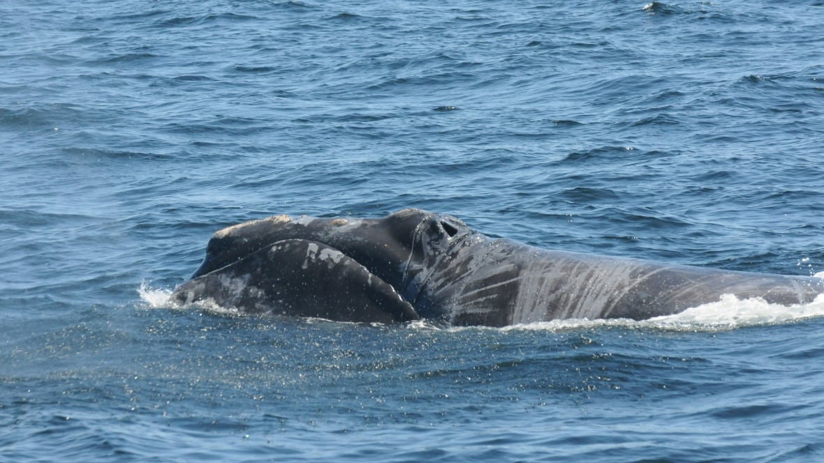 Reduced speeds for right whales prompts surcharge for Oceanex Montreal-St. John's route