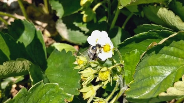 A bumblebee lands on a strawberry plant at Organics Family Farm in Markham, Ont. The farm is part of a research study testing a biological fungicide that is delivered by bees.