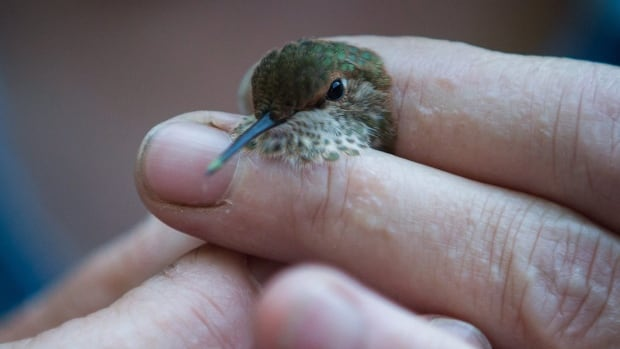 Christine Bishop, a research scientist with Environment and Climate Change Canada, holds a rufous juvenile male hummingbird as she prepares to measure and band it and collect urine and feces for testing, in Surrey, B.C.