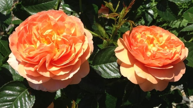 B.C.'s Brad Jalbert is the creator of the rose celebrating Vogue's 125th anniversary. He created it by crossing his Loretta Lynn Van Lear rose and the yellow Julia Child rose.