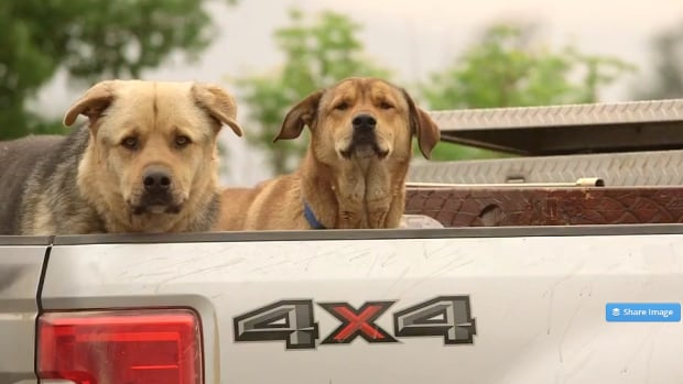 Some pet owners had the chance to grab their animals before they left home. These two dogs rode in the back of a pickup truck in Williams Lake.
