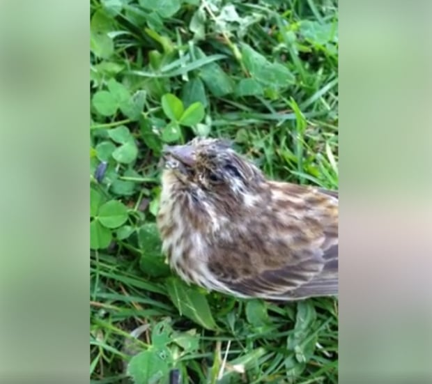 finches disease