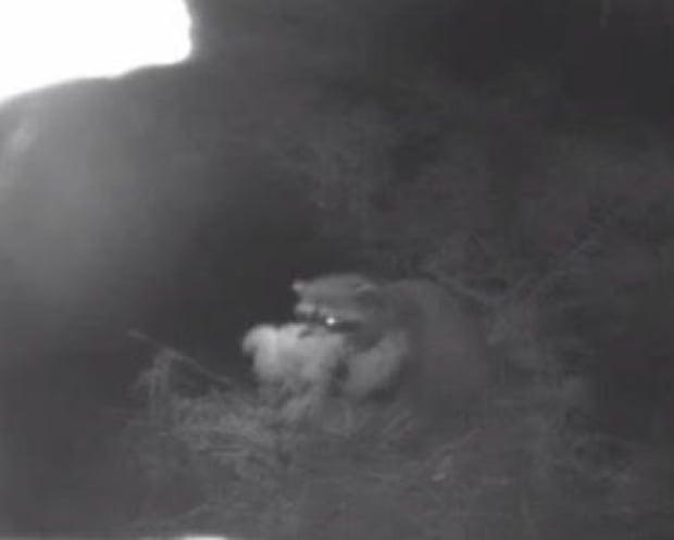 Raccoon in nest