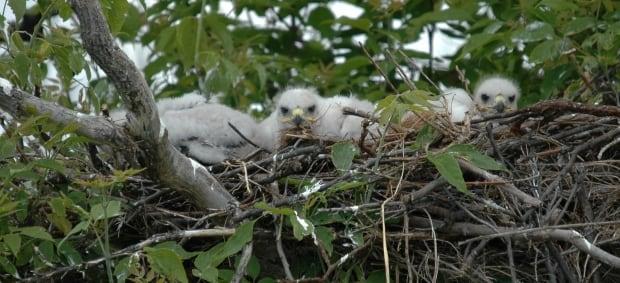Ferruginous hawk nest