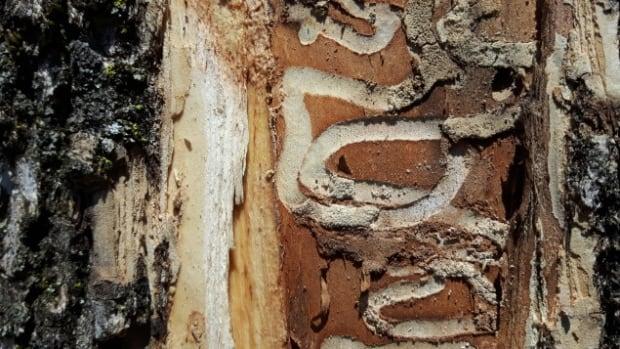 Montcalm ash tree
