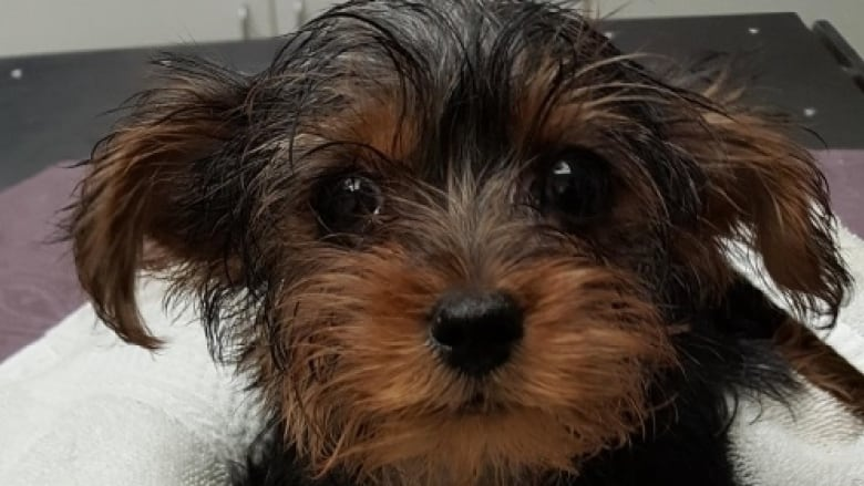 Sickening Discovery Yorkie Puppy Wrapped In Plastic Bags Found