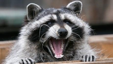 Leave baby animals alone or risk rabies, warn health officials in Hamilton, Halton