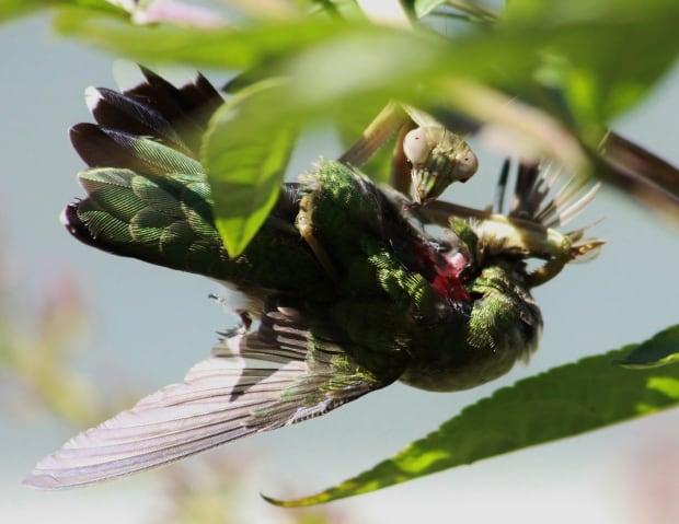 Praying mantis eating hummingbird