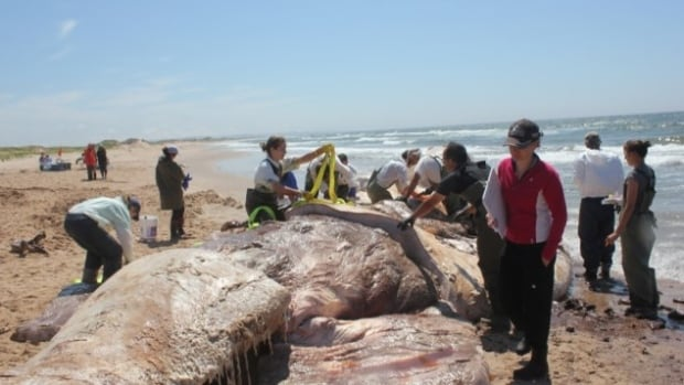 Scientists conducted necropsies this week on two endangered North Atlantic right whales found dead recently near the Magdalen Islands.