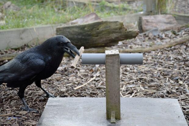 Raven Foresight