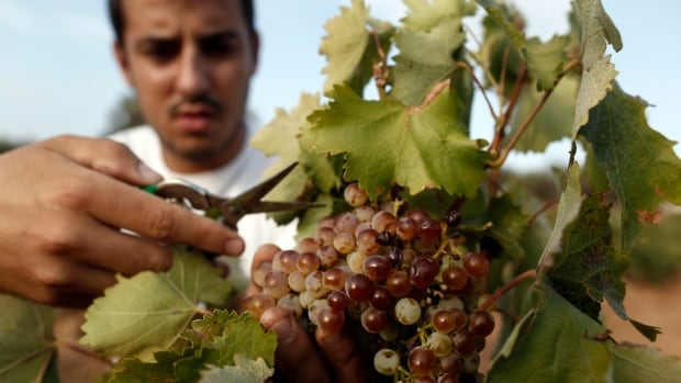 A worker cuts grapes off the vine at a vineyard in Keratea, Greece. Researchers have linked climate change related heat exhaustion to decreased productivity among workers who harvest grapes for the wine industry.