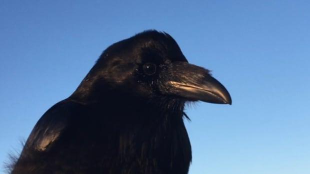 Yellowknife raven