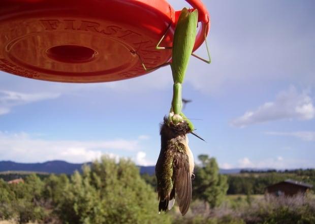 Praying mantis eating bird