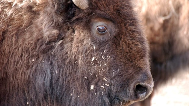 High Park Zoo investigates unexpected death of Alberta the bison
