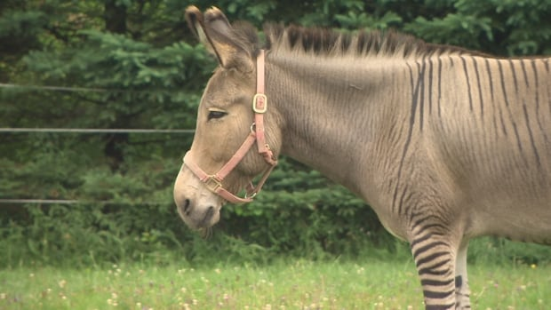 Zonk the zonkey arrived in Chester Basin, N.S., on July 12 after 10 days in quarantine at another equine rescue in Maine.