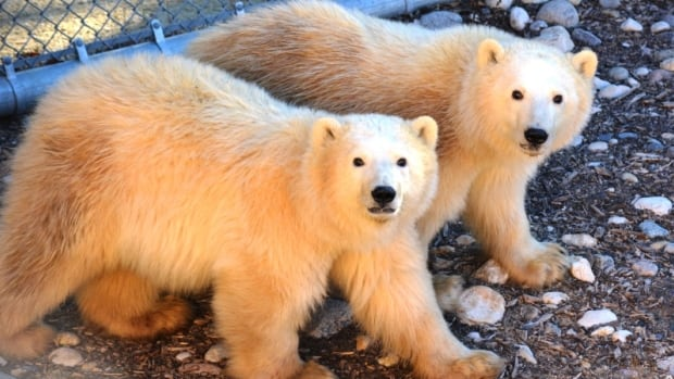 York and Eli arrived at the zoo in October 2015 as orphaned cubs.