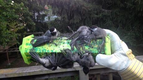 Trapstik birds