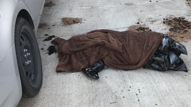 "The remains of a female black lab that the Calgary Humane Society says was ""left in a car for an extended period of time during extremely hot weather."""