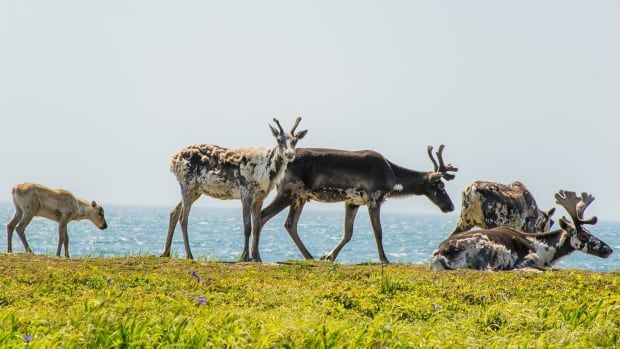 Caribou grazing near Port Aux Choix (Point Riche Lighthouse) on a beautiful summer day.