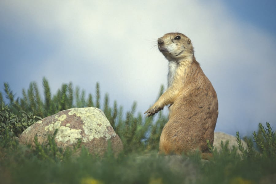 Bubonic plague's close cousin claims 1 prairie dog in Sask ...