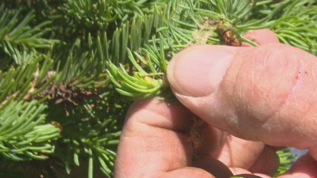 Budworm outbreak a possibility as pine, spruce trees show infestation signs in northern Ontario | CBC News