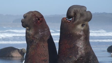 elephant-seal-rhythm