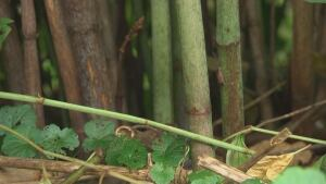Knotweed ottawa strong stem notched like bamboo