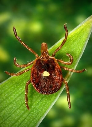 Tick Meat Allergy