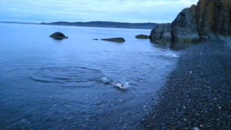 Cod jump shore in search of capelin