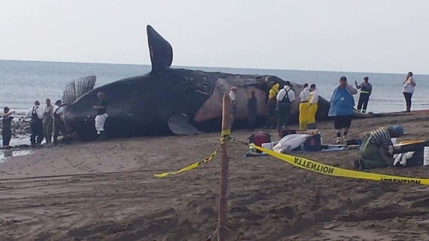 The carcass of a dead right whale, like this one in the Gulf of St. Lawrence last week, has been discovered in a remote part of western Newfoundland.
