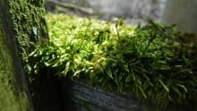 The scorching sun can't give a moss sunburn thanks to a single protein.