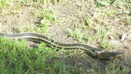 Plains garter snake eats eastern tiger salamander in Manitoba