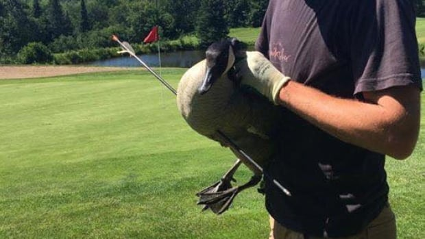 Despite being impaled with an arrow, this Canada goose was still able to walk, swim, and care for his goslings.