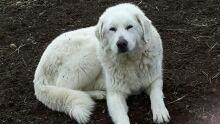 B.C. wildfire guardian dog
