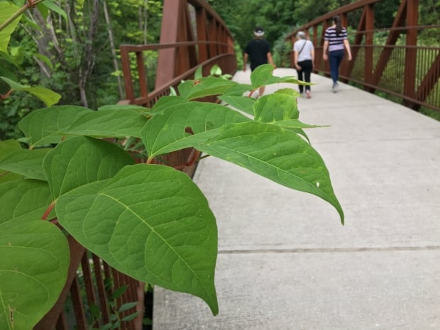 Toronto Japanese knotweed