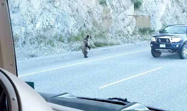 Stranger uses truck to protect cyclist from charging grizzly on B.C. highway