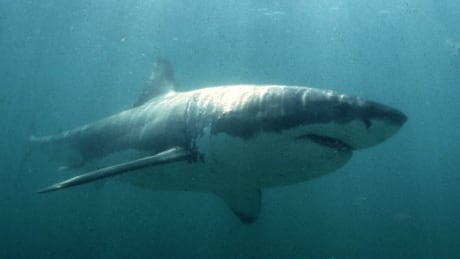 Great White Shark South Africa undated file photo