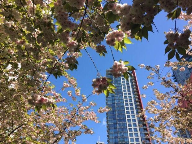 Vancouver condo in cherry blossoms