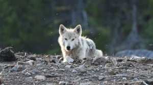 wolf labrador wildlife