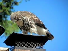 The young red-tailed hawk has been delighting bird-watchers in Sidney since he was first spotted in the eagle's nest.