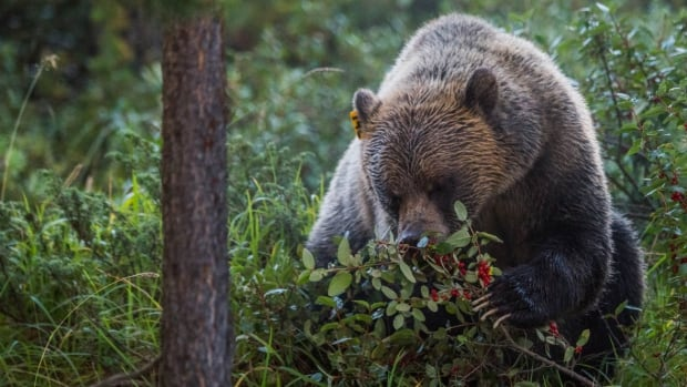 A grizzly bear eats buffalo berries in this handout photo from Parks Canada.