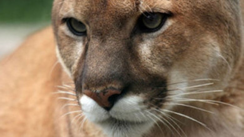 The cougar like this one was later killed