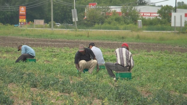 Temporary foreign workers pick sweet peas at Abby Hill Farms in Richmond, Ont. The owner of the farm said he's been forced to transfer four workers to other farms in Ontario because the rainy summer here has led to lower yields.
