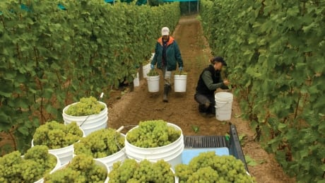 Harvest at Venturi-Schulze Vineyards