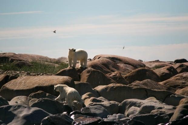 Beluga snot researchers in Churchill: Polar bears in the intertidal