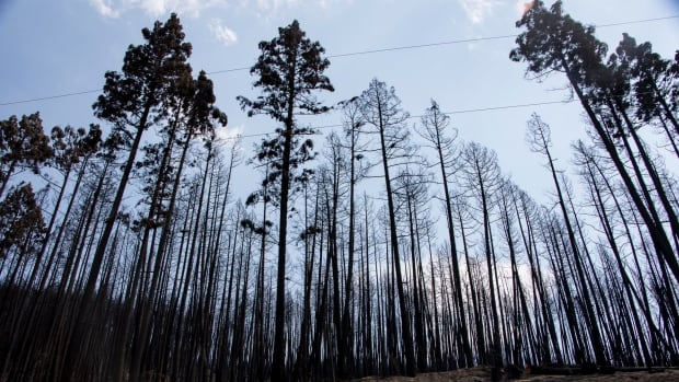A stand of trees destroyed by fire near Williams Lake.