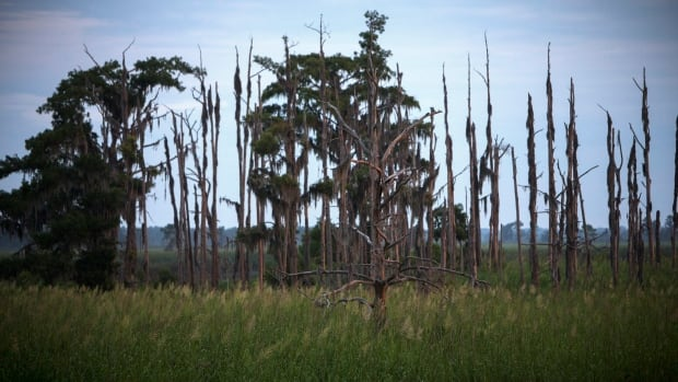 Rising sea levels are killing trees along vast swaths of the North American coast by inundating them in salt water. This July 16 photo shows a 'ghost forest' near the Savannah River in Port Wentworth, Ga.