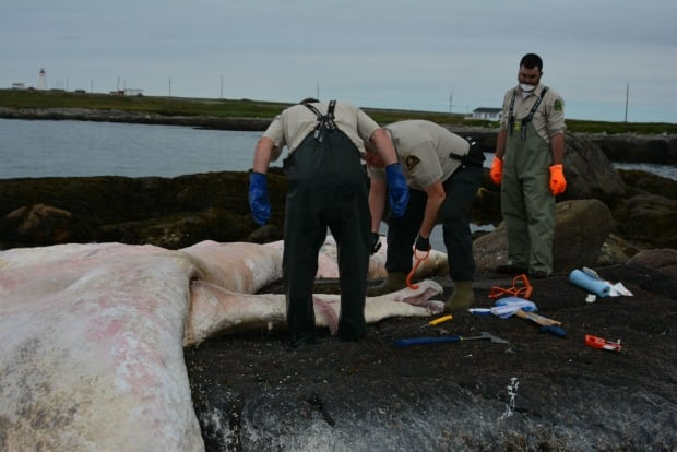Deaths of ten 'majestic' right whales spurs Ottawa into action