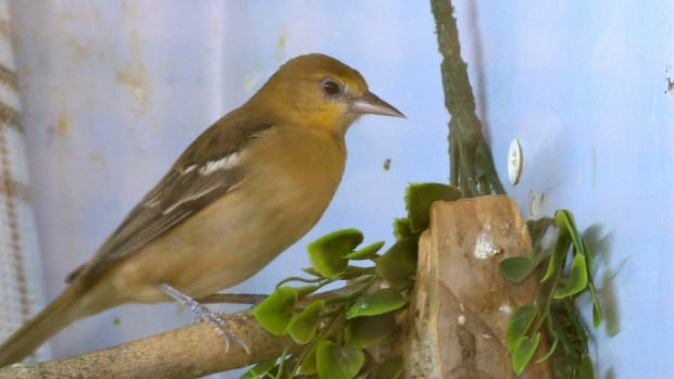 The sighting of this Bullock's oriole in 2015 drew hundreds of birdwatchers to Pakenham, Ont.