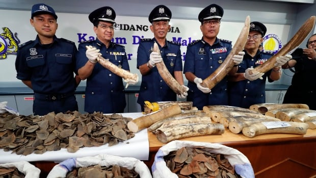 Seized pangolin scales and tusks are shown by Malaysian customs officials.
